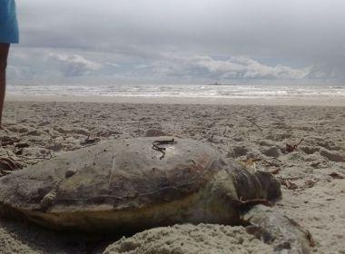 Tartaruga é encontrada morta em Ilhéus; região já registrou 107 casos