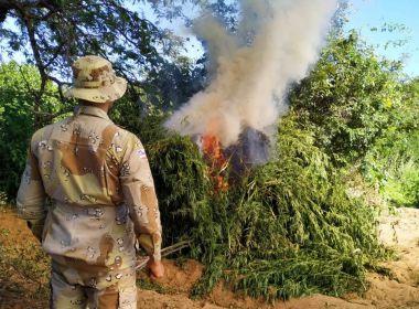 Abaré: PM queima 1,5 tonelada de maconha; fazenda tinha 3,2 mil pés de droga