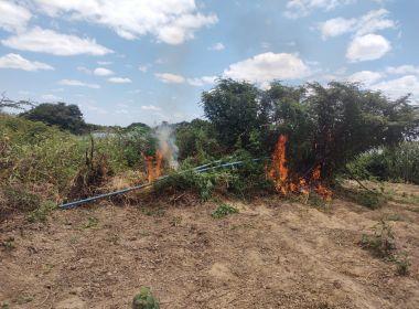 Treze mil pés de maconha são descobertos e incinerados em Curaçá