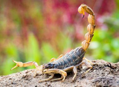 BA registra aumento de 50,6% em três anos em ataques de escorpiões