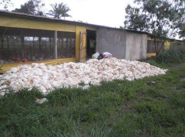 Mais de 50 mil frangos morrem por falta de ração na Bahia