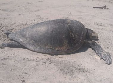 Ilhéus: Tartaruga é encontrada morta na praia da Ponta do Ramo
