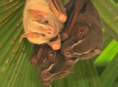 Variações do coronavírus são detectados em morcegos comuns no Brasil